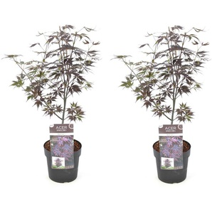 Very rare Japanese Maple Acer Black Lace 2x Acer Black Lace 35-50cm